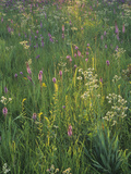 Tallgrass Prairie Wildflowers Photographic Print by Adam Jones