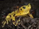 Panamanian Golden Frog (Atelopus Zeteki), Captive Photographic Print by Michael Kern