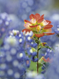 An Indian Paintbrush, Castilleja, Rises Up Amidst a Sea of Texas Bluebonnets, Lupinus Texensis Photographic Print by Don Grall