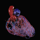 Human Heart Circulation, Resin Cast View of The Healthy Coronary Arteries of Young Person Photographic Print by Ralph Hutchings
