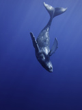 Humpback Whale Calf (Megaptera Novaeangliae) Swimming Near its Mother, Hawaii, USA Photographic Print by David Fleetham