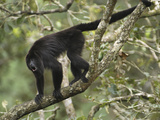 Guatemalan or Black Howler Monkey Calling (Alouatta Pigra), Belize Photographic Print by Thomas Marent