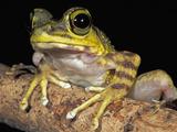 Long-Legged Frog Head (Amolops), Kinabalu National Park, Sabah, Borneo, Malaysia Photographic Print by Thomas Marent