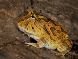 Albino Pac Man Frog (Ceratophrys Cranwelli), Captive Photographic Print by Michael Kern