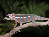 Panther Chameleon (Furcifer Pardalis) with Caught Prey, Native to Madagascar, Captive Photographic Print by Michael Kern
