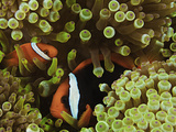 A Pair of Bridled Anemonefish (Amphiprion Frenatus) in a Bulb-Tipped Sea Anemone Photographic Print by David Fleetham