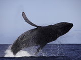 Breaching Humpback Whale (Megaptera Novaeangliae), Hawaii, USA Photographic Print by David Fleetham