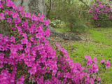 Azalea Blossoms in Spring, Magnolia Plantation, Charleston, South Carolina, Flower Photographic Print by Adam Jones