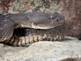 Adult Arizona Black Rattlesnake (Crotalus Oreganus Cereberus), Captive Photographic Print by Michael Kern
