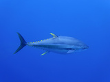 Yellowfin Tuna (Thunnus Albacares), Pacific Ocean, Guadalupe Island, Mexico Photographic Print by David Fleetham