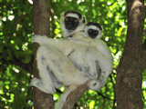 Verreaux's Sifaka with an Infant (Propithecus Verreauxi), Berenty Private Reserve, Madagascar Photographic Print by Thomas Marent