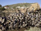 California Mussels (Mytilus Californianus), Cabrillo National Monument, Point Loma, San Diego Photographic Print by Richard Herrmann