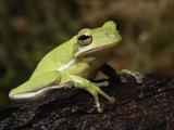 Green Tree Frog, Hyla Cineria, Photographic Print by Adam Jones