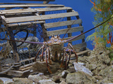 Spiny Lobster Near a Lobster Trap, Panulirus Argus Photographic Print by Adam Jones