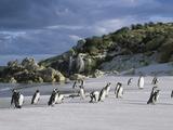 Magellanic Penguins (Spheniscus Magellanicus) Photographic Print by John Gerlach
