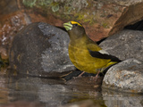 Evening Grosbeak (Coccothraustes Vespertinus) Male Drinking Water at the Edge of a Small Pond Photographie par Don Grall