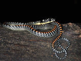 Paradise Flying Snake (Chrysopelea Paradisi), Captive Photographic Print by Michael Kern