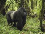 Silverback Mountain Gorilla Standing (Gorilla Beringei Beringei), Volcanoes National Park, Rwanda Fotografisk tryk af Thomas Marent