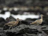Whimbrel (Numenius Phaeopus Hudsonicus) Is a Shorebird, Santa Cruz Island, Galapagos, Ecuador Photographic Print by David Fleetham