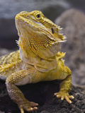 Bearded Dragon, Pogona Vitticeps, Captive Photographie par Adam Jones