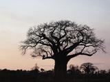 African Baobab Tree (Adansonia Digitata), Tarangire National Park, Tanzania, Africa Photographic Print by Adam Jones