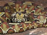 Rhinoceros Viper (Bitis Nasicornis), Captive Photographic Print by Michael Kern