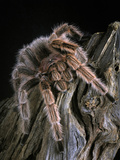 The Chilean Rose Hair Tarantula (Grammostola Rosea) Is Native to Chile, Captive Photographic Print by Michael Kern
