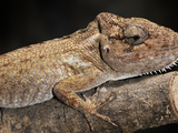 Chameleon Anoles (Chamaeleolis Porcus), Captive Photographic Print by Michael Kern