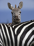 Burchell's Zebra (Equus Burchelli), Masai Mara Game Reserve, Kenya, Africa Photographic Print by Adam Jones