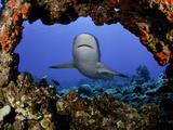 Gray Reef Shark (Carcharhinus Amblyrhynchos) are Common on Coral Reefs, Hawaii, USA Photographic Print by David Fleetham