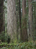 Stout Memorial Grove, Jedediah Smith Redwoods State Park, California, USA Photographic Print by Tim Hauf