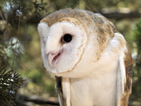 The Common Barn Owl (Tyto Alba) Is One of the Most Wide-Spread of All Land Birds, Captive Photographic Print by Michael Kern