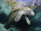 Florida Manatee, Three Sisters Spring in Crystal River Photographic Print by David Fleetham