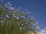 Blue Flax (Adenolinum Lewisii) Against a Blue Sky, Colorado, USA Photographic Print by Don Grall
