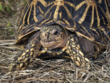 Indian Star Tortoise (Geochelone Elegans), Captive Photographic Print by Michael Kern