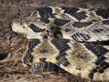 Timber Rattlesnake (Crotalus Horridus) Captive Photographic Print by Michael Kern