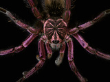Blue Bloom Birdeater Tarantula (Pamphobeteus Nigricolor) Captive Photographic Print by Michael Kern