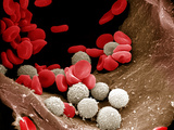 Red and White Blood Cells Within an Arteriole Arteries Branch into Arterioles Within Organs Photographic Print by Richard Kessel