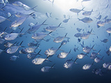 A School of Steel Pompano (Trachinotus Stilbe) Off Gordon Rocks, Galapagos Islands, Ecuador Photographic Print by David Fleetham
