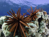 Slate Pencil Sea Urchins (Heterocentrotus Mammillatus) Fotografie-Druck von David Fleetham