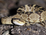 Young Arizona Black Rattlesnake (Crotalus Oreganus Cereberus), Captive Photographic Print by Michael Kern