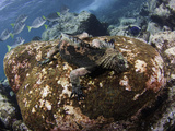 Marine Iguana (Amblyrhynchus Cristatus) Feeding Underwater Off Santa Fe Island on Algae, Galapagos Photographic Print by David Fleetham
