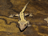 Crested Gecko (Rhacodactylus Ciliatus), New Caledonia Photographic Print by Adam Jones