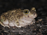 Sonoran Desert Toad (Bufo Alvarius) Photographic Print by Michael Kern