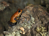 Imitator Poison Dart Frog (Dendrobates Imitator), Captive Photographic Print by Michael Kern