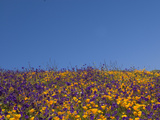 California Poppies and Parry's Phacelia Photographic Print by Michael Johnson