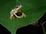 African Reed Frog (Hyperolius), Captivity Photographic Print by Michael Kern