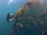 Marine Biologist and Diver Performing a Rockfish Survey in Giant Kelp Forest Photographic Print by Richard Herrmann