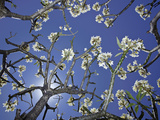 Plumeria Tree with Blossoms and Blue Sky, Hawaii Photographic Print by David Fleetham
