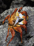 A Sally Lightfoot Crab (Graspus Graspus) on an Intertidal Rock, Santa Cruz Island, Galapagos Photographic Print by David Fleetham